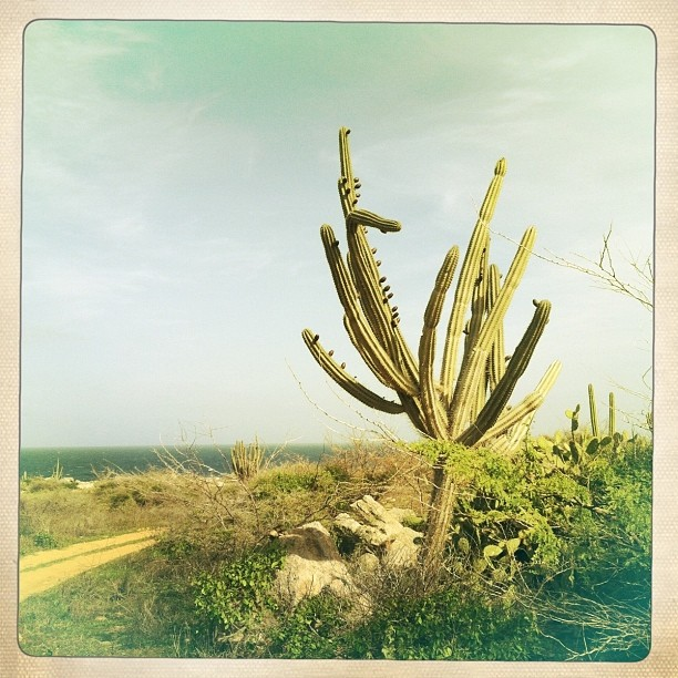 cactus in the northeast coast of aruba