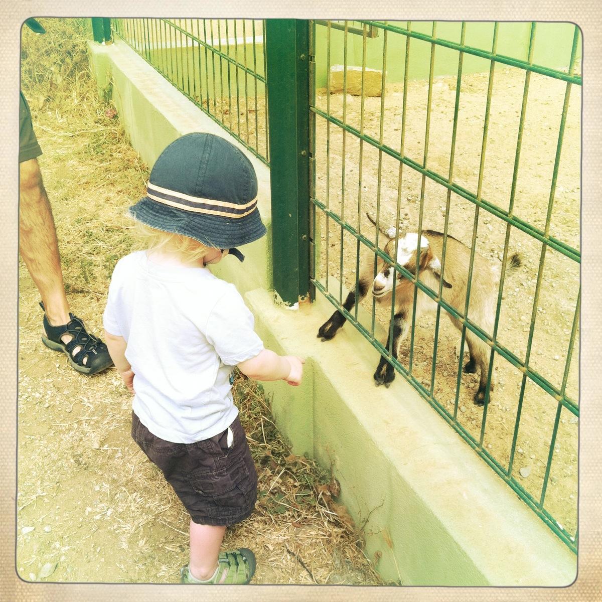 Feeding the baby goats at animal garden
