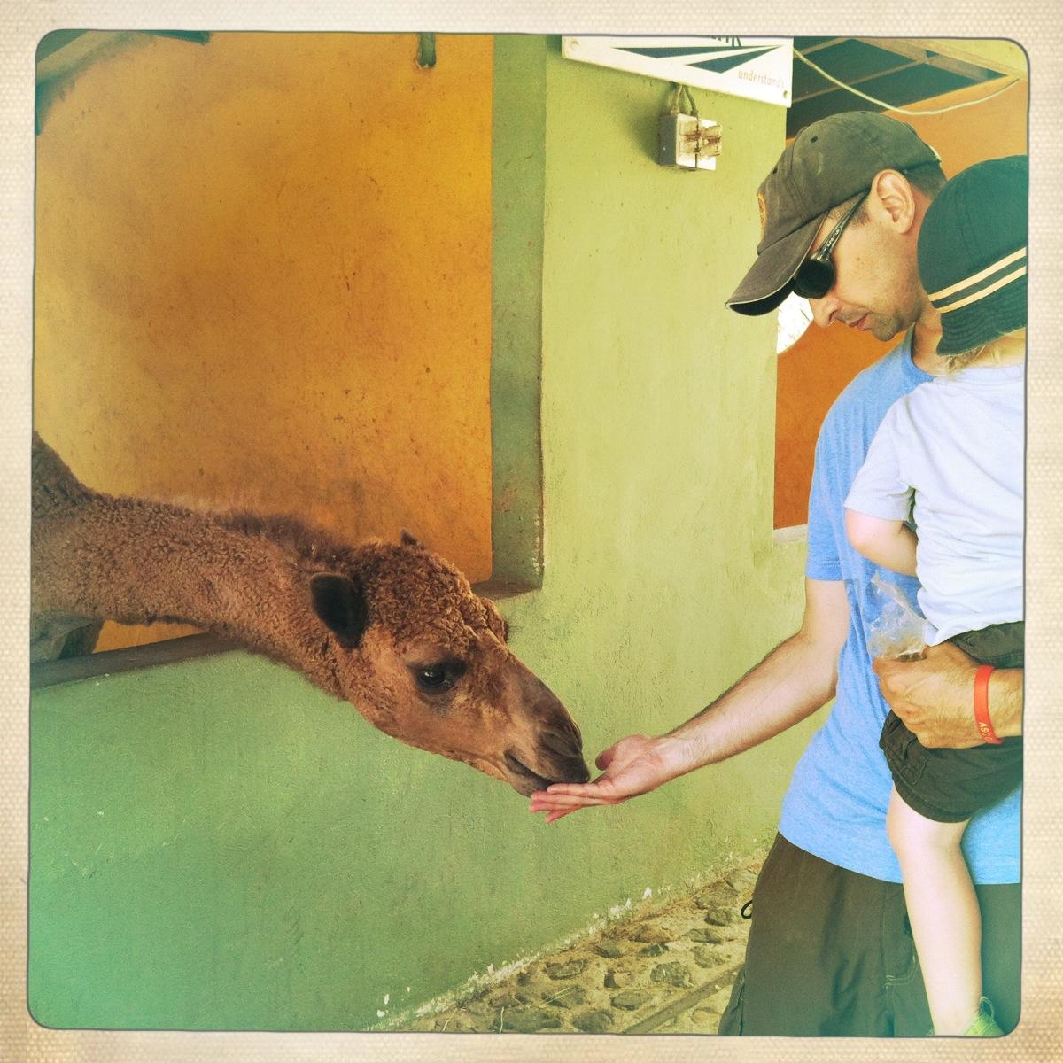 feeding a camel at animal garden